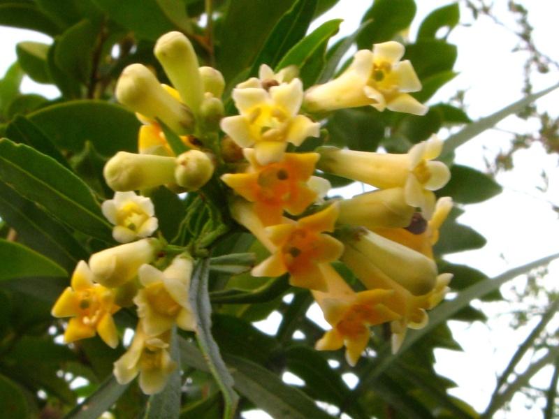 Freylinia lanceolata Freyli10