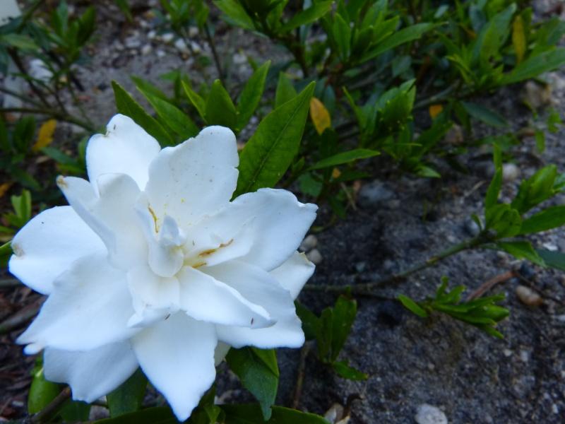 Gardenia rustiques Garden10