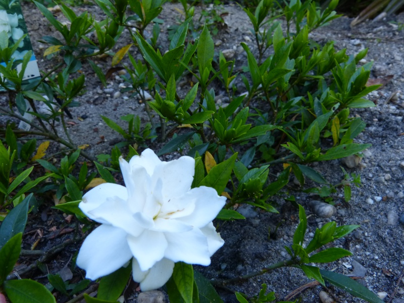 Gardenia rustiques Garden11