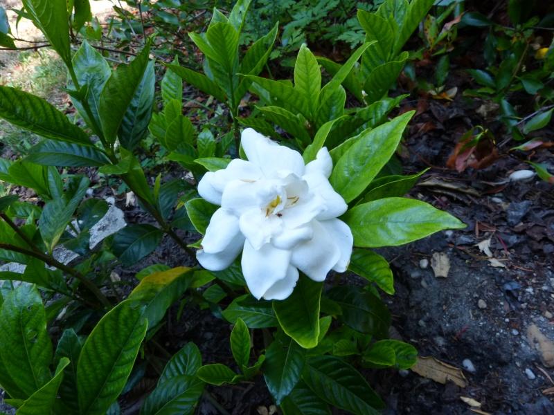 Gardenia rustiques Garden14
