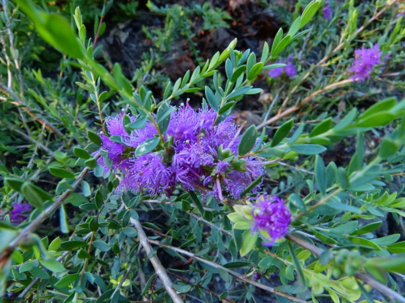 butinages du jour à l'ombre de nos plantes  Melale11