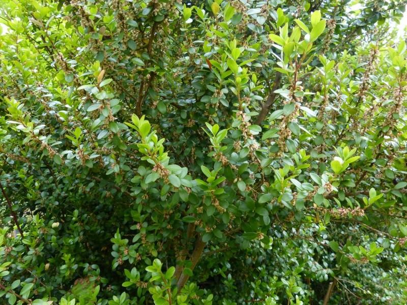 Murraya paniculata - bois-jasmin Myrsin10