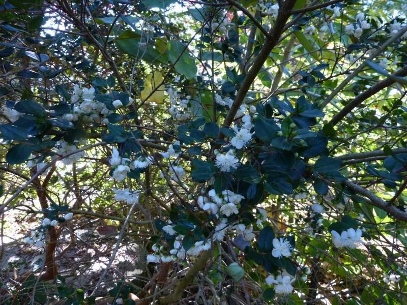 butinages du jour à l'ombre de nos plantes  - Page 2 Myrtus10