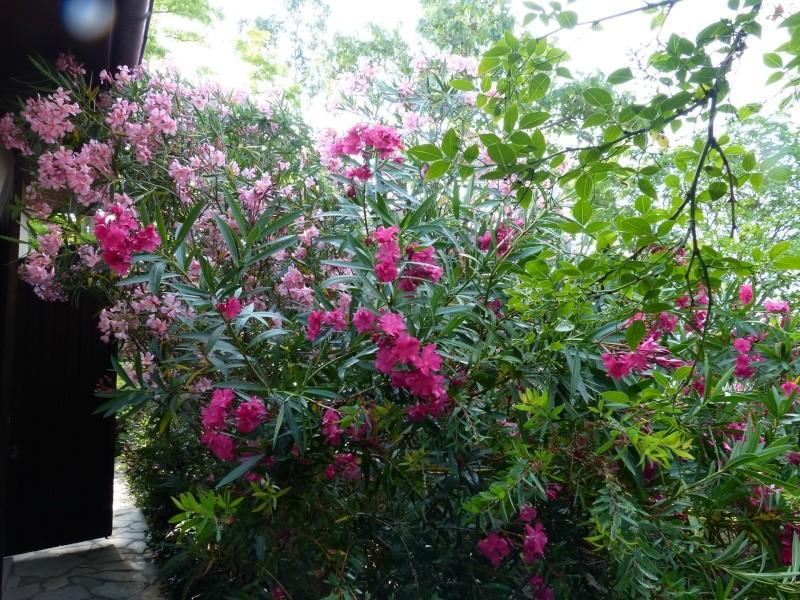 butinages du jour à l'ombre de nos plantes  Nerium15