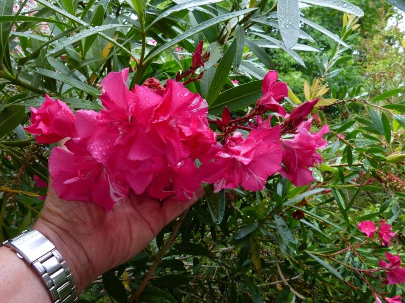 nos plantes parfumées - 2011-2015 - Page 6 Nerium17