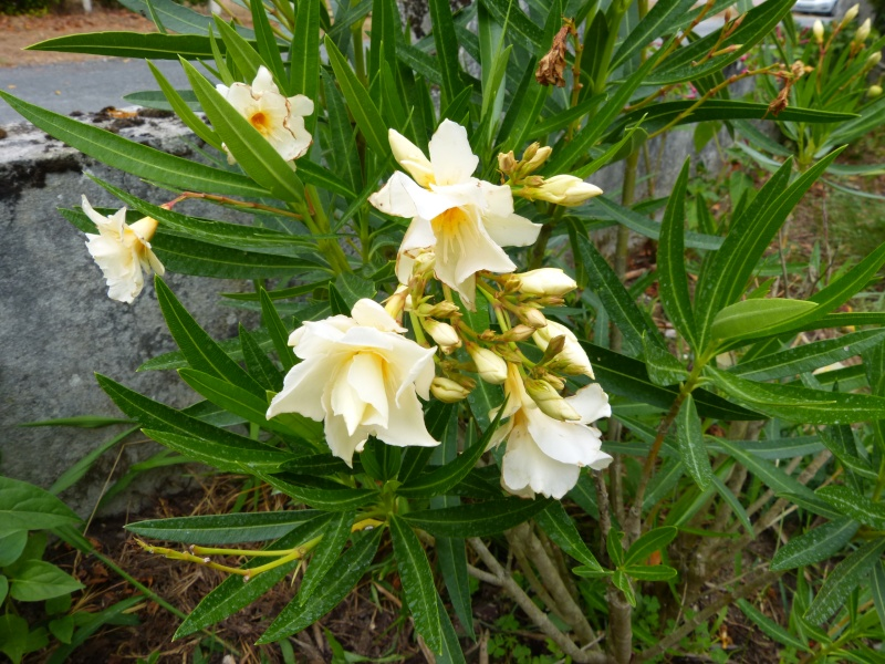 Nerium oleander - laurier rose - Page 2 Nerium22