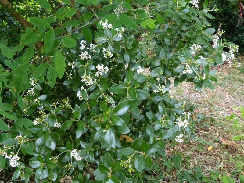 butinages du jour à l'ombre de nos plantes  - Page 2 Oleari10