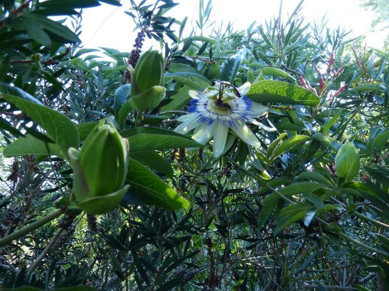 passiflores : nos floraisons [verrouillé] - Page 2 Passif11