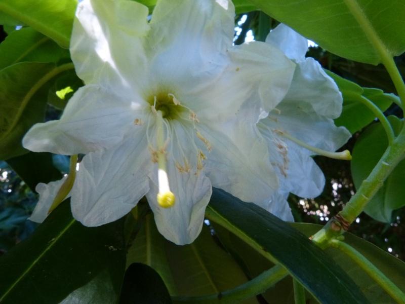 butinages du jour à l'ombre de nos plantes  - Page 2 Rhodod16