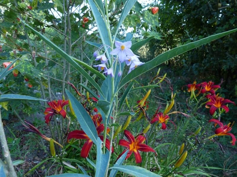 Solanum glaucophyllum - solanum à feuilles glauques Solanu12