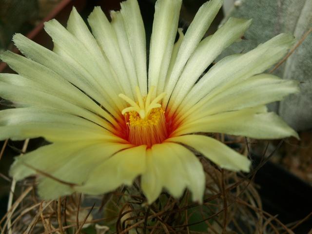 Astrophytum capricorne v. aureum = Astrophytum senile v. aureum Astrop12