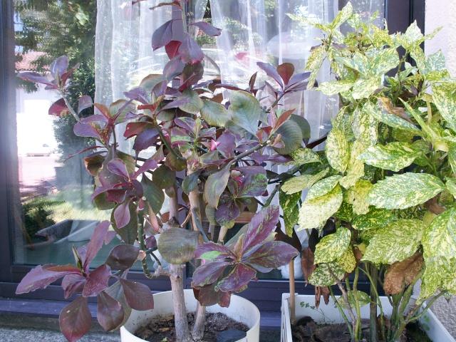 Euphorbia umbellata (= Synadenium umbellatum) Euphor10