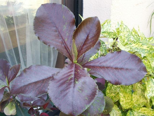 Euphorbia umbellata (= Synadenium umbellatum) Euphor11