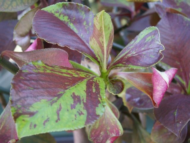 Euphorbia umbellata (= Synadenium umbellatum) Euphor12