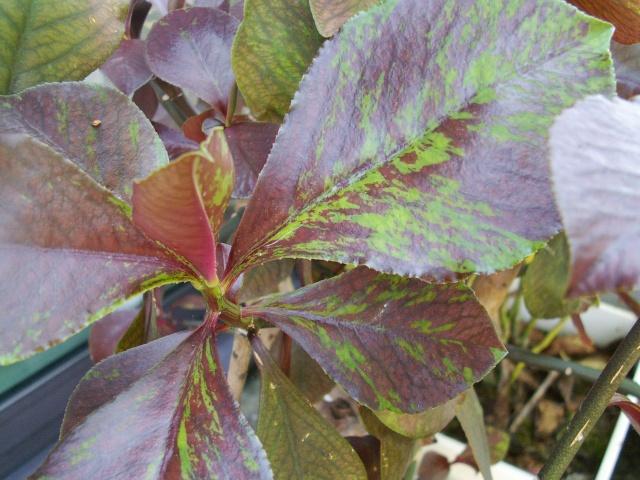 Euphorbia umbellata (= Synadenium umbellatum) Euphor13