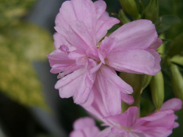 Saponaria officinalis 'Flore Pleno' Inconn12