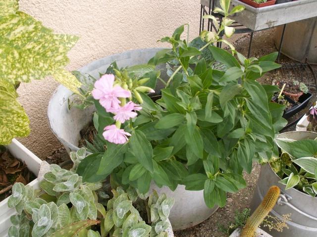 Saponaria officinalis 'Flore Pleno' Inconn13