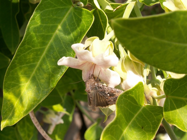 butinages du jour à l'ombre de nos plantes  Pict0048
