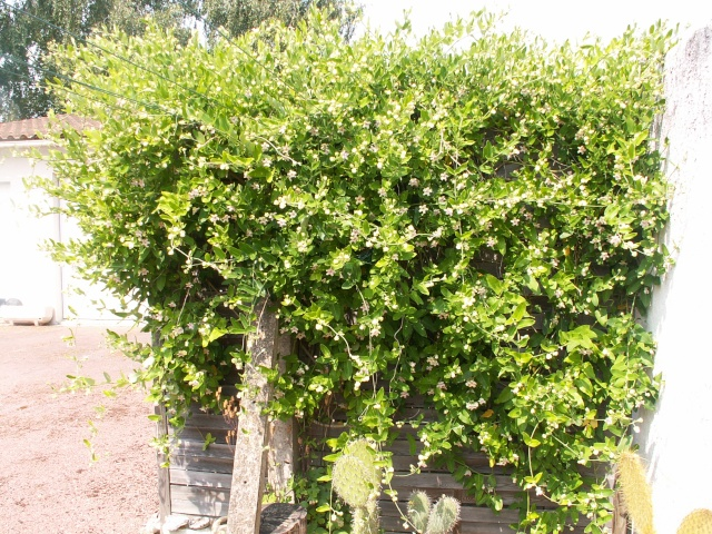 butinages du jour à l'ombre de nos plantes  Pict0049