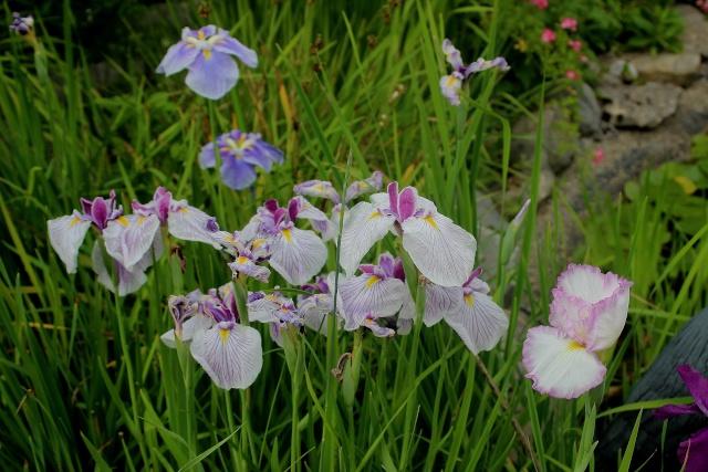 Iris 2015 - Page 3 Royal_10