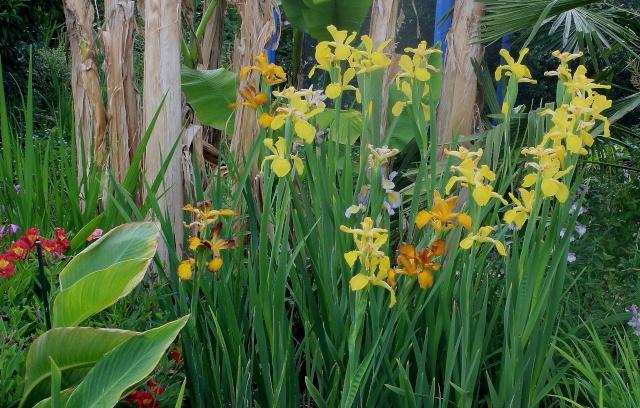 Iris 2015 - Page 2 Spuria10