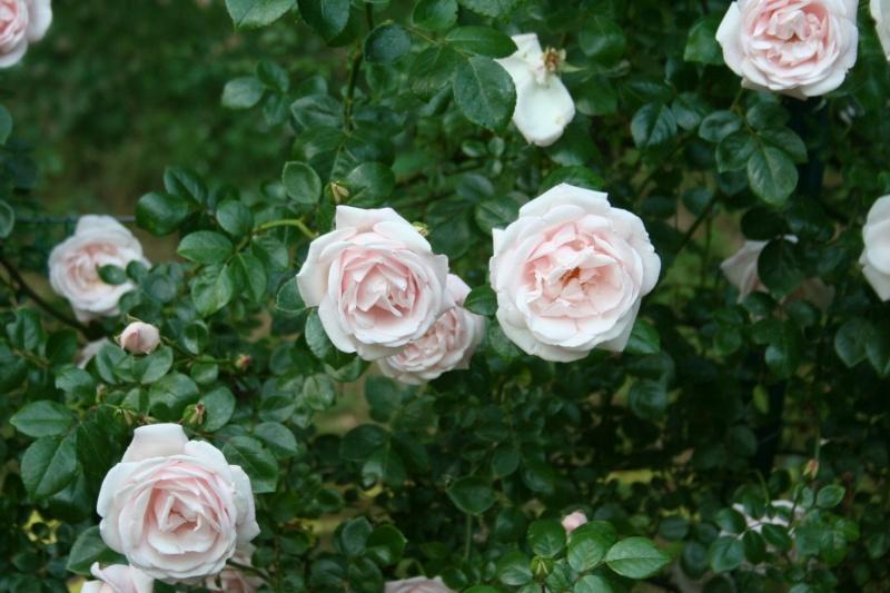 un rosier inconnu qui me tient beaucoup à coeur  Img_1112