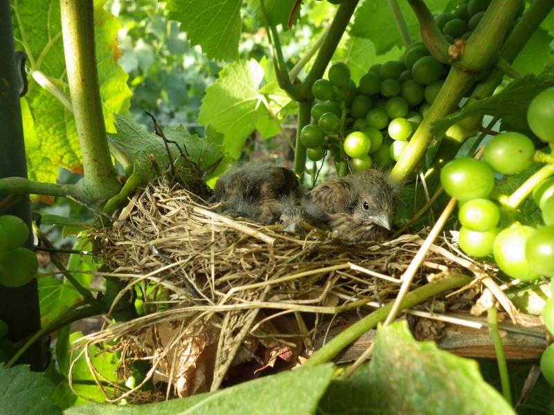 Oiseau qui aime la vigne Rimg1810