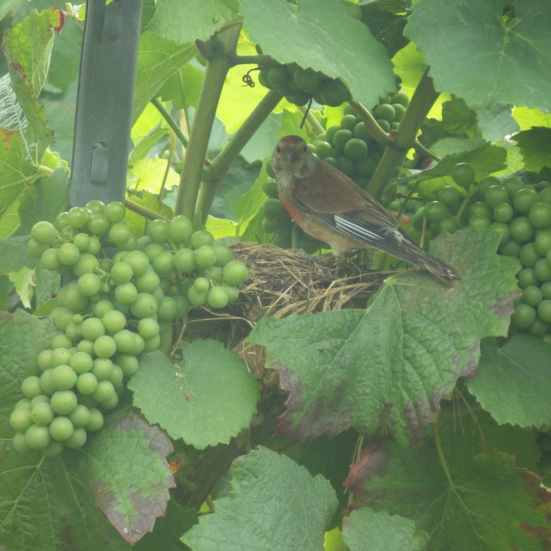 Oiseau qui aime la vigne Rimg2010