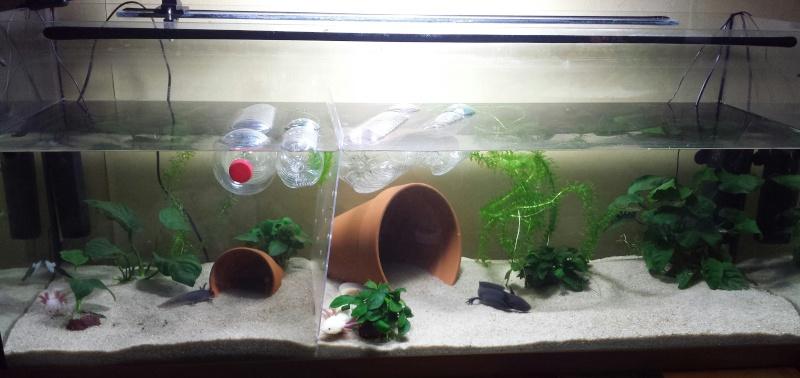 240L Axolotls 20150611