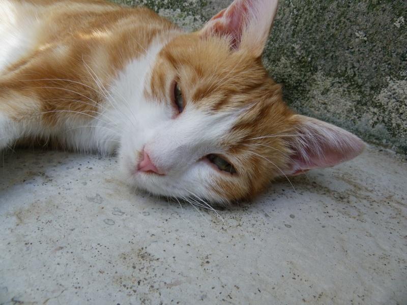 LYSSI (chat mâle roux et blanc) Imgp4340