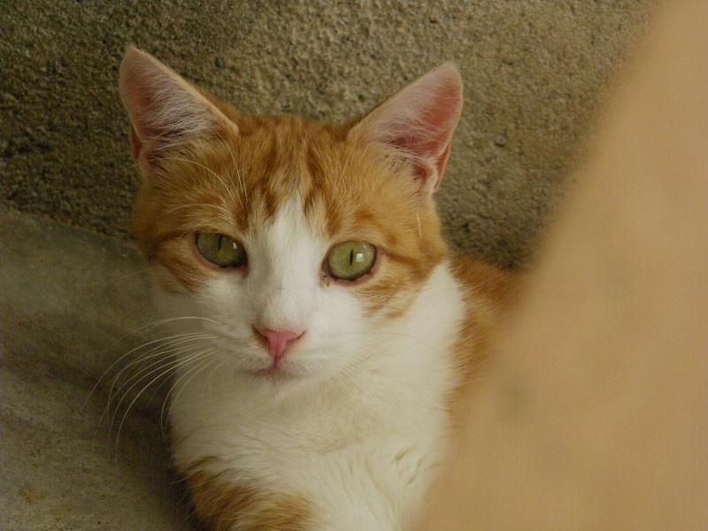 LYSSI (chat mâle roux et blanc) Imgp4341