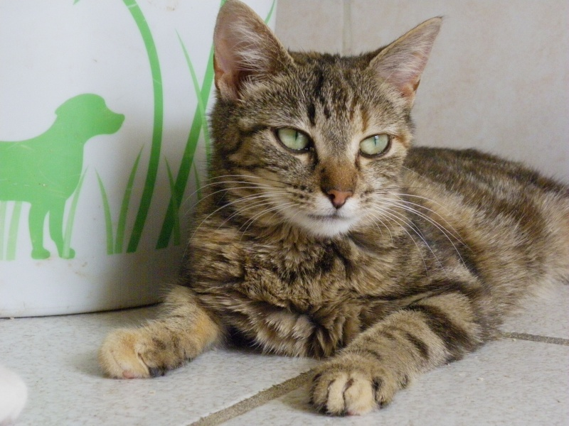 PEPITE (chatte femelle tigrée) Imgp4347