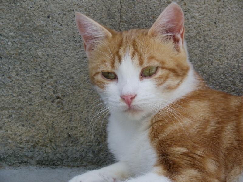 LYSSI (chat mâle roux et blanc) Lyssi10