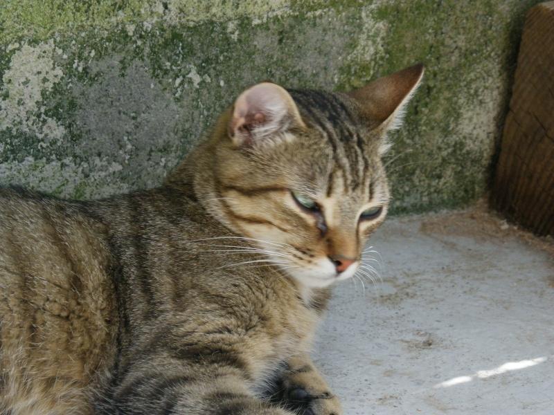 MELBOURNE (chaton tigré marron) Melbou10