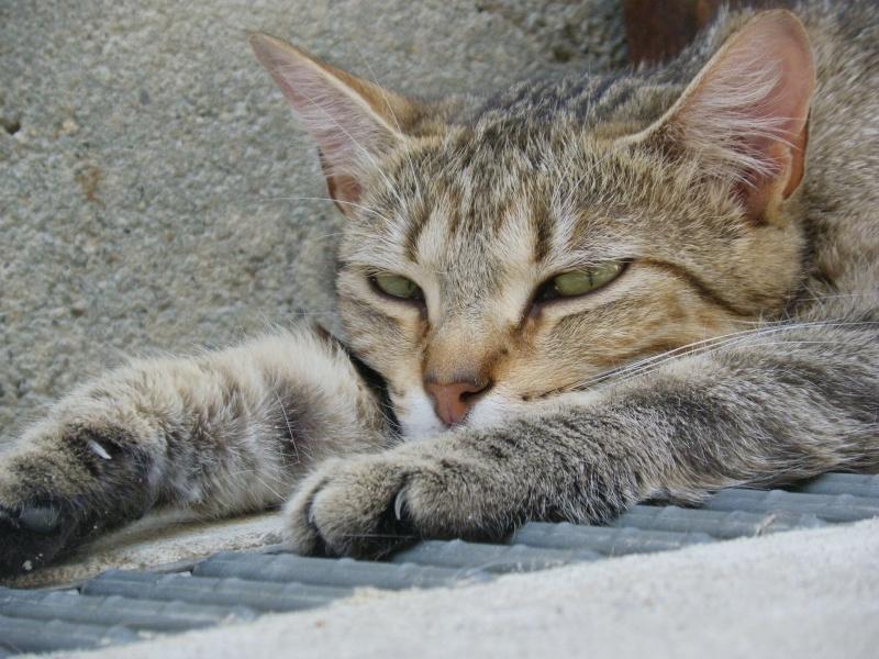 MELBOURNE (chaton tigré marron) Melbou11