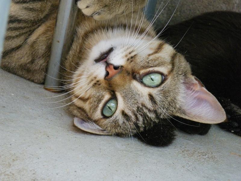 MELBOURNE (chaton tigré marron) Melbou12