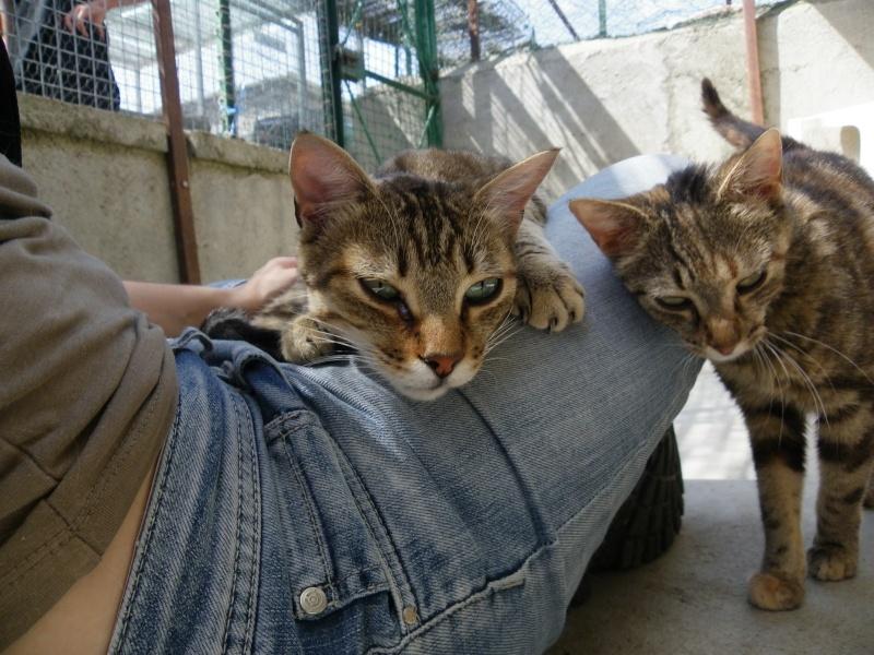 PEPITE (chatte femelle tigrée) Melbou14