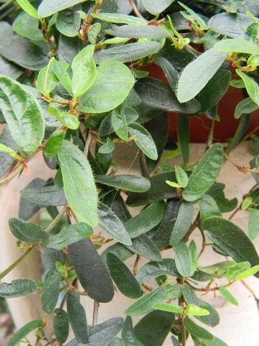 Ficus punctata 'Anouk' Albu510
