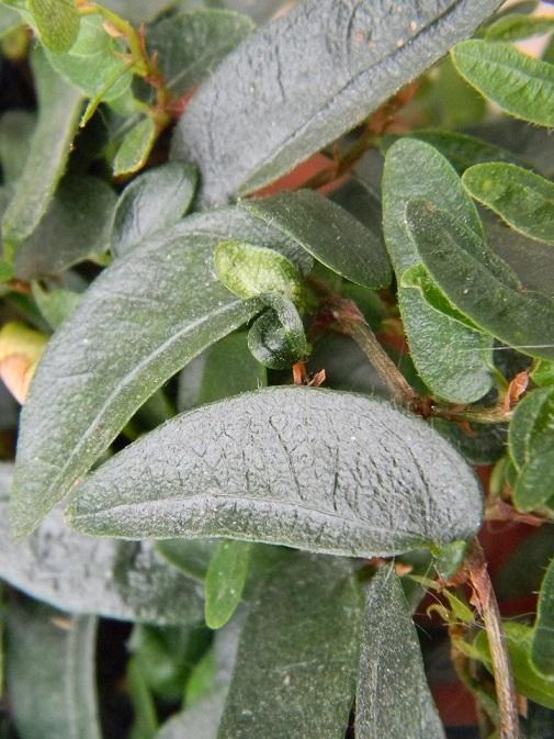 Ficus punctata 'Anouk' Albu610