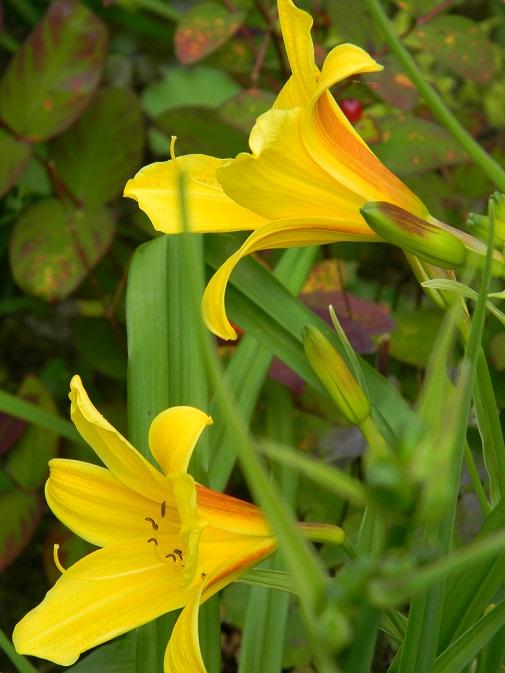Hemerocallis - des variétés - Page 3 Hem10