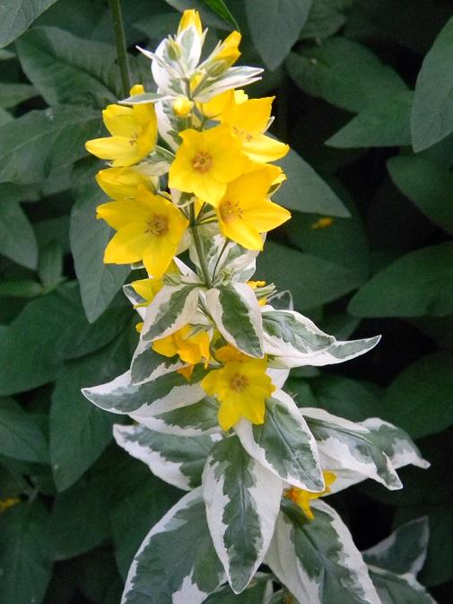 butinages du jour à l'ombre de nos plantes  Lys10