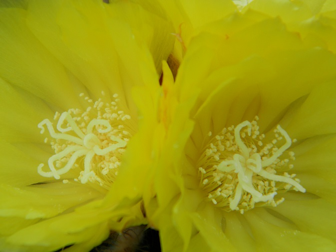 Notocactus magnificus Noto212