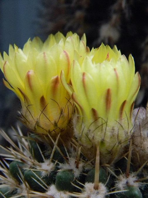 Parodia mammulosa ssp. submammulosa Paro410