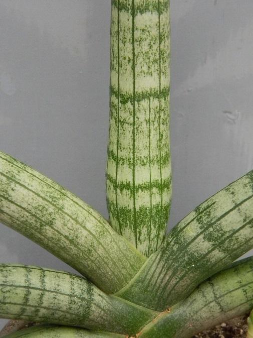 Sansevieria cylindrifolia var. patula  San212