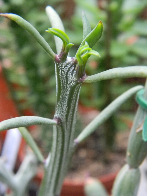 Kleinia longiflora (= Senecio longiflorus madagascariensis) Seo210