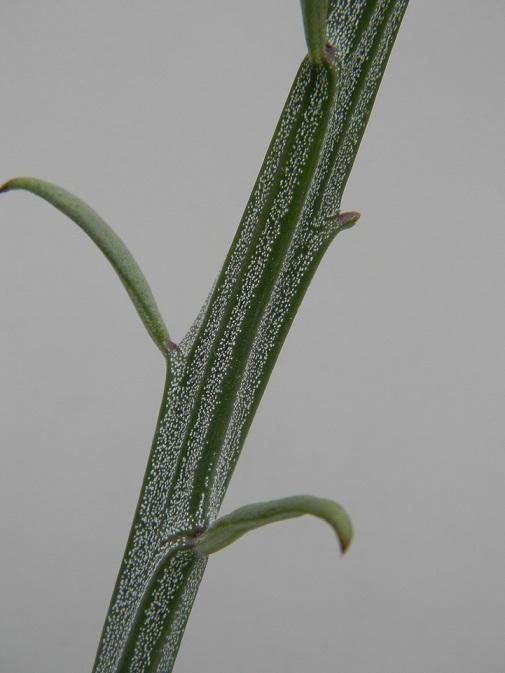 Kleinia longiflora (= Senecio longiflorus madagascariensis) Seo310