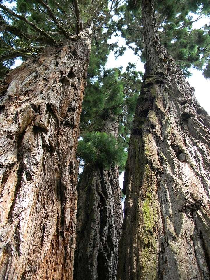 Sequoiadendron giganteum - séquoia géant - Page 3 Seq11