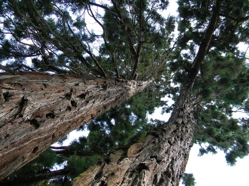 Sequoiadendron giganteum - séquoia géant - Page 3 Seq111