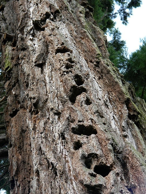 Sequoiadendron giganteum - séquoia géant - Page 3 Seq311