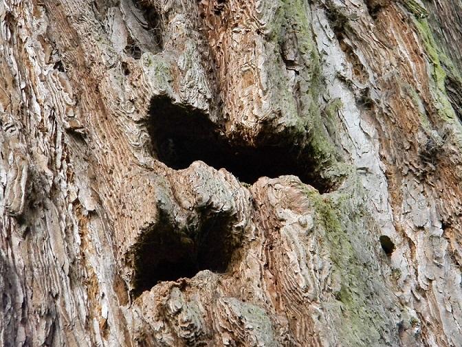 Sequoiadendron giganteum - séquoia géant - Page 3 Seq411
